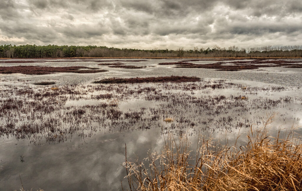 Reeves Bog Pinelands