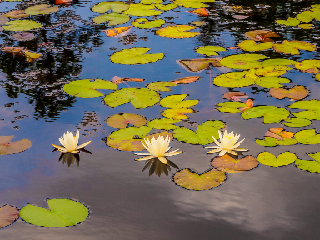 Water Lilies frienship, Pine Barren, Pinelands