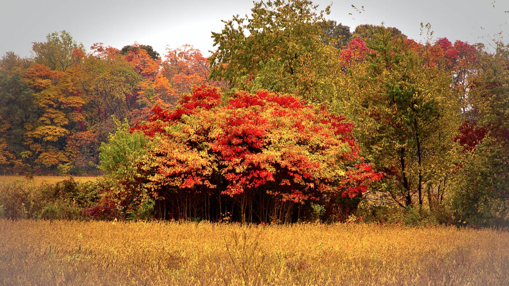Beautful Fall Color in the Pine lands