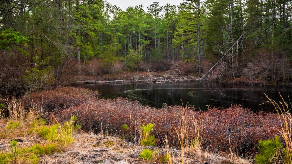Pine lands Bog