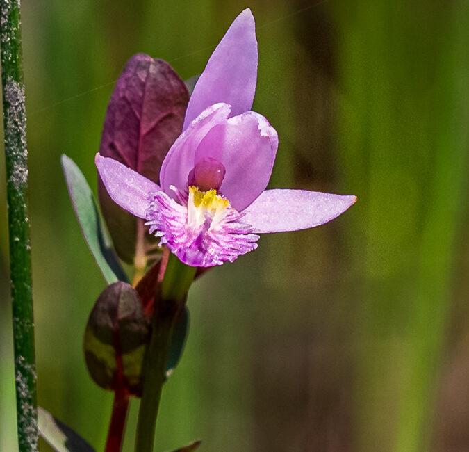 Bog Orchids Rose Pogonia Pine Lands