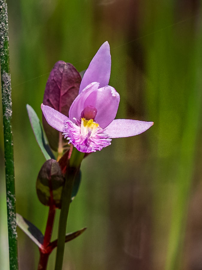 Bog orchids Pinelands Photos