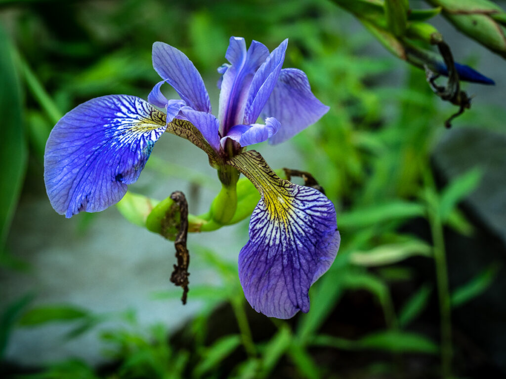 Purple Iris flower photograph