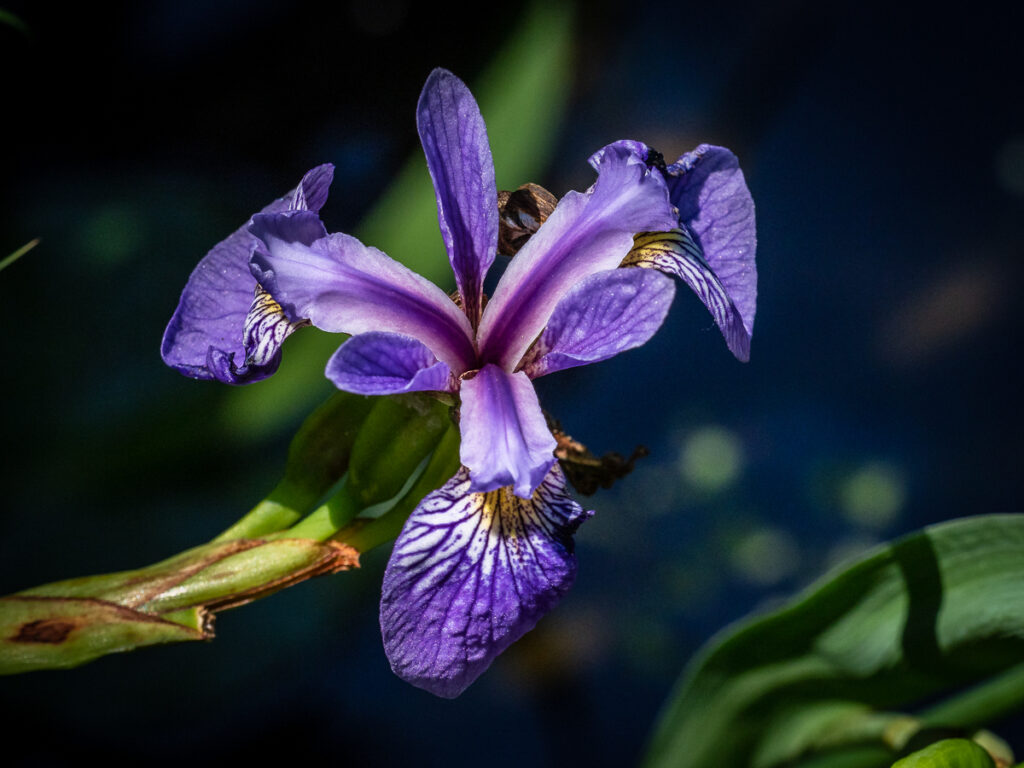 Purple iris flower photograph in the Pine Lands