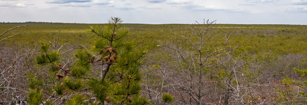 Pygmy Pines Plains