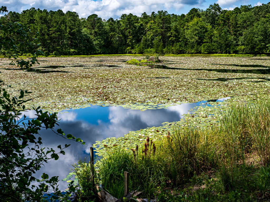 Lily pads in Pinelands photo
