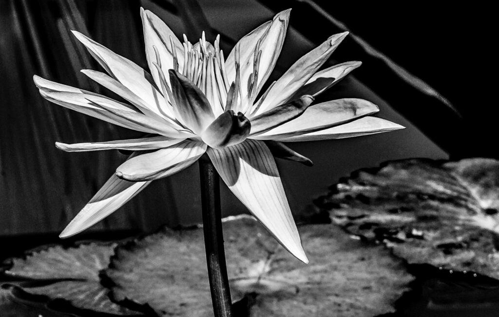 Whitesbog Water Lily Photograph